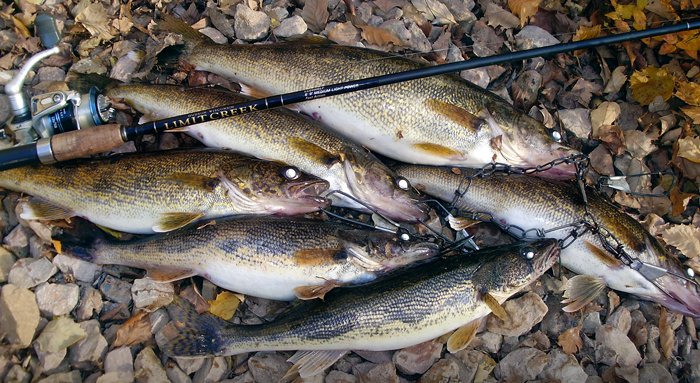 St. Croix River walleye sauger limit